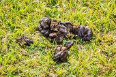 image of excrement  - Close up shot cow dung on green meadow - JPG