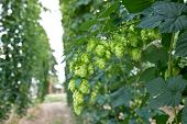 foto of hop-plant  - ripened hop cones in the hop garden
