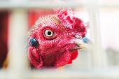 stock photo of fighting-rooster  - An Beautiful fighting gamecock in Thailand  - JPG