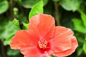 pic of hibiscus flower  - Shoe Flower Chinese Rose or Hibiscus flowers on the branch was taken in nature  - JPG