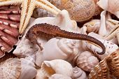 stock photo of seahorse  - background of various seashells starfish and seahorse - JPG