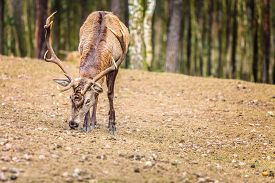pic of male-domination  - Majestic powerful adult male red deer stag in autumn fall forest - JPG