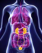 stock photo of urethra  - Human Kidneys Anatomy Illustration  - JPG