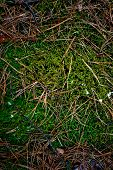 picture of marsh grass  - Closeup texture of fresh grass and moss growing at forest - JPG