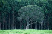 image of eucalyptus trees  - Single tree  - JPG