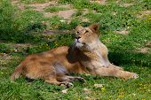 stock photo of leo  - Portrait of a Barbary lion  - JPG