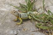 stock photo of tallgrass  - male collared lizard, Tallgrass Prairie National Preserve, Kansas