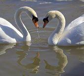 image of black swan  - Swans - JPG
