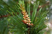 stock photo of pinus  - the strobile on the pine  - JPG