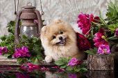 foto of pomeranian  -  puppy pomeranian and flowers - JPG