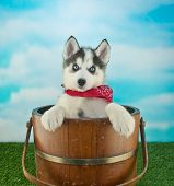 pic of husky  - Cute blue eyed Husky puppy standing in a bucket outdoors with a blue sky behind him along with copy space - JPG
