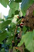 picture of mulberry  - Mulberry tree and its fruit photographed close up - JPG