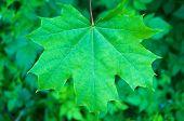 foto of canada maple leaf  - green maple leaf close - JPG