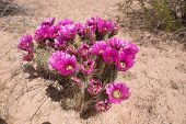 pic of pipe organ  - Cactus at Organ Pipe Cactus National Monument is a U - JPG