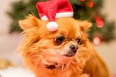 foto of long hair dachshund  - Long Haired Chihuahua at Christmas in front of tree with lights. ** Note: Visible grain at 100%, best at smaller sizes - JPG