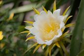 image of dragon fruit  - Dragon fruits white flower on bloomingwith clipping path - JPG