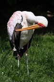 picture of stork  - Yellow - JPG