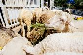 foto of eat grass  - Sheep eating grass in the farm  - JPG