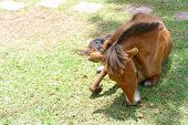 picture of pony  - brown pony is eating grass in the farm - JPG
