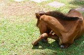 stock photo of pony  - brown pony is eating grass in the farm - JPG