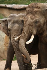 stock photo of indian elephant  - Two Indian elephants  - JPG
