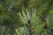 Постер, плакат: A Green Sprig Of Cedar Closeup