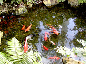 foto of koi fish  - Koi fish swimming in a large pond - JPG