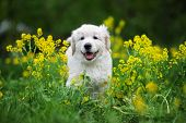 Adorable Golden Retriever Puppy Posing Outdoors In Summer poster
