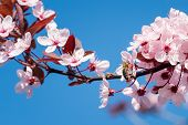Bee On A Pink Cherry Blossoms. Spring Floral Background On A Blue Sky. Cherry Flowers Blossoming In  poster