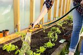 Watering Seedling Tomato Plant In Greenhouse With Watering Hose, Vegetable Garden. Gardening Concept poster
