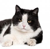 Mixed-breed cat lying against white background poster