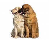 Leonberger puppy, 4 months old, and Labrador Retriever dog , 1 year old, sitting against white backg poster