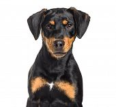 Mixed-breed dog , 8 months old, sitting against white background poster