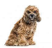 Brown Mixed-breed dog sitting against white background poster