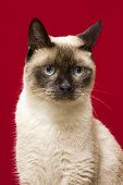 Siamese Cat Looking Serious In Red Studio Background. poster