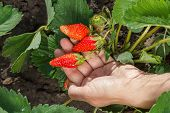 Female Gardener Is Holding Ripe Strawberries In Hand. Ripe And Unripe Strawberry Growing On The Bush poster