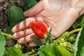 Gardener Is Holding Ripe Strawberry In Hand. Ripe And Unripe Strawberries Growing On The Bush In The poster