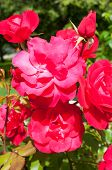 Summer Flowers Of Red Rose Blooming In The Sunny Garden. Closeup Of Red Roses On The Rose Bush Lit B poster