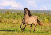 stock photo of running horse  - a gray wild horse in autumn running - JPG