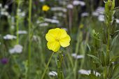 Yellow Flower Oenothera Or Evening Primrose In Field poster