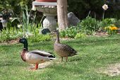 Mallards, Drake And Hen (anas Platyrhynchos), Standing On The Grass Of A Residential Home That Had B poster