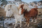Beautiful Brown And White Horses Near Fence On Pasture In Iceland, Snaefellsnes poster