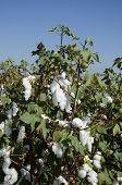 picture of pima  - Cotton in the field - JPG