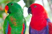 A Pair Of Green And Red Solomon Island Eclectus Parrots. poster