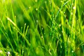 Lawn Grass In The Sunlight. Close-up. Morning Dew. Fresh Green Grass Lawn In Sunlight, Landscaping I poster