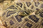 pic of western diamondback rattlesnake  - Diamondback rattle snake - JPG