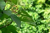 stock photo of chloroplast  - Large green leaves on tree in Cape Cod - JPG