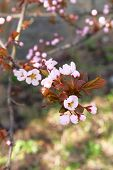 Branches Of Blossoming Apricot On Springtime Background. Spring Blossom. Apricot Flowers Border Art  poster