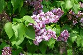 Lilac Flowers With Green Blurred Background. Branches Of Blossoming Purple Lilac On Springtime In Pa poster