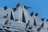 pic of feces  - lot of pigeons on a wooden structure - JPG
